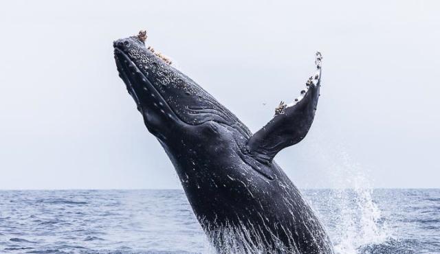 humpback whale, las perlas, panama